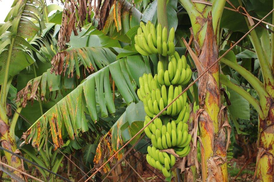 banane_fr_chte_ern_hrung