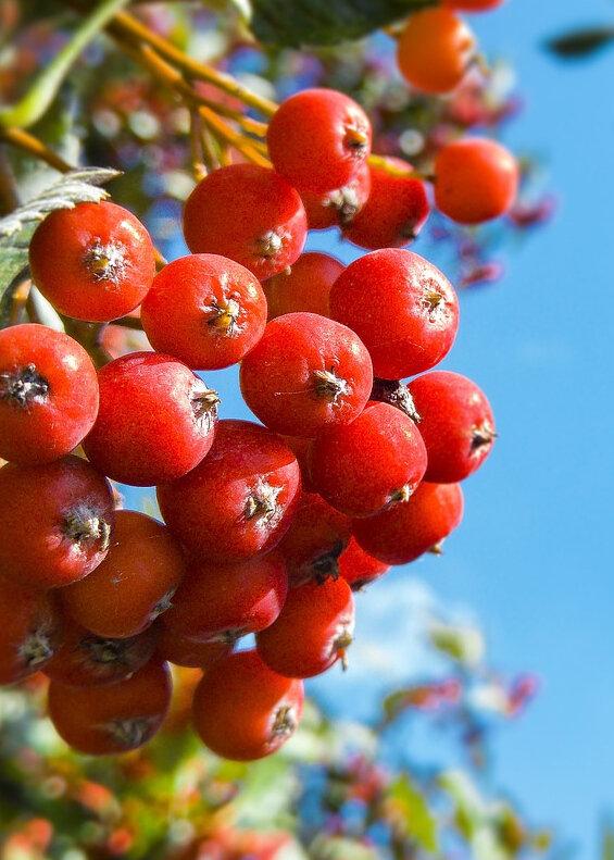Früchte der Eberesche