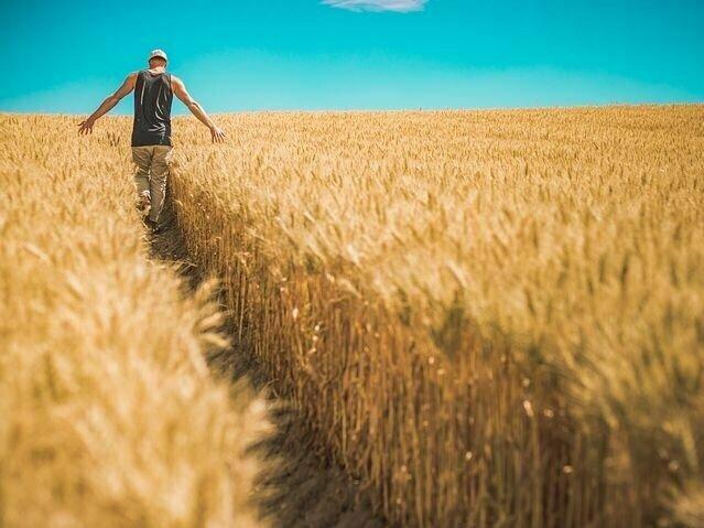 Erntereifes Getreide