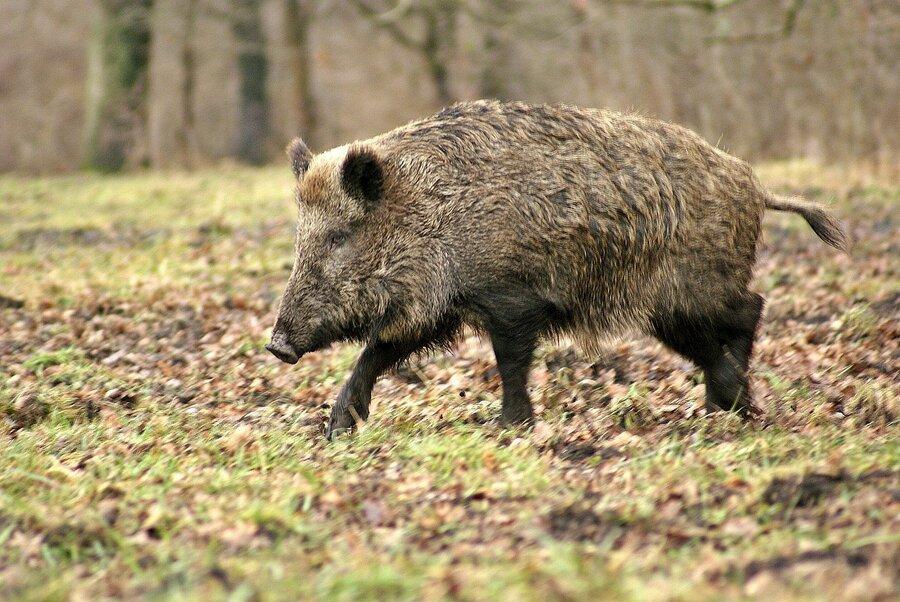 Wildschwein4