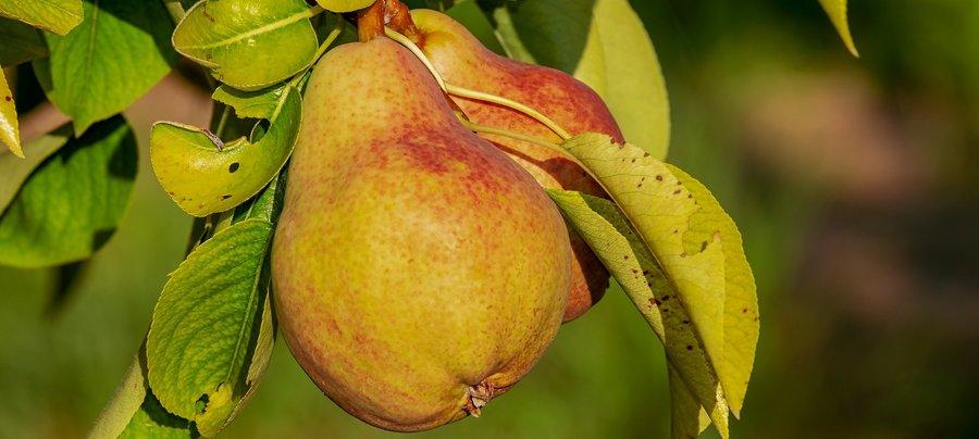 pear-3560106_1920