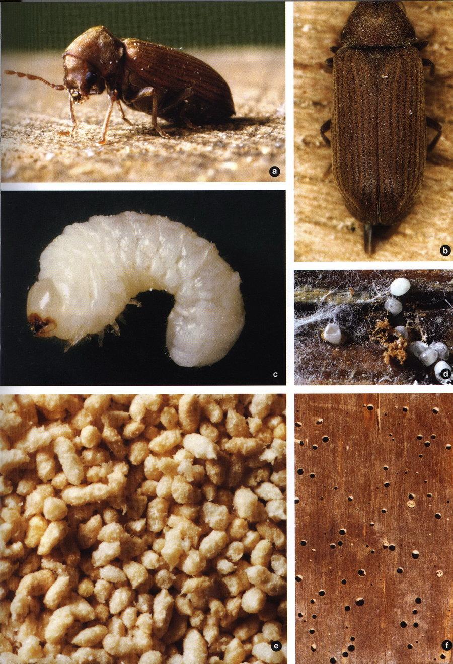 Gewöhnlicher Nagekäfer