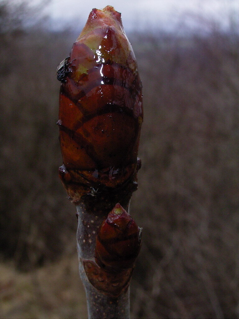 rosskastanie-knospe