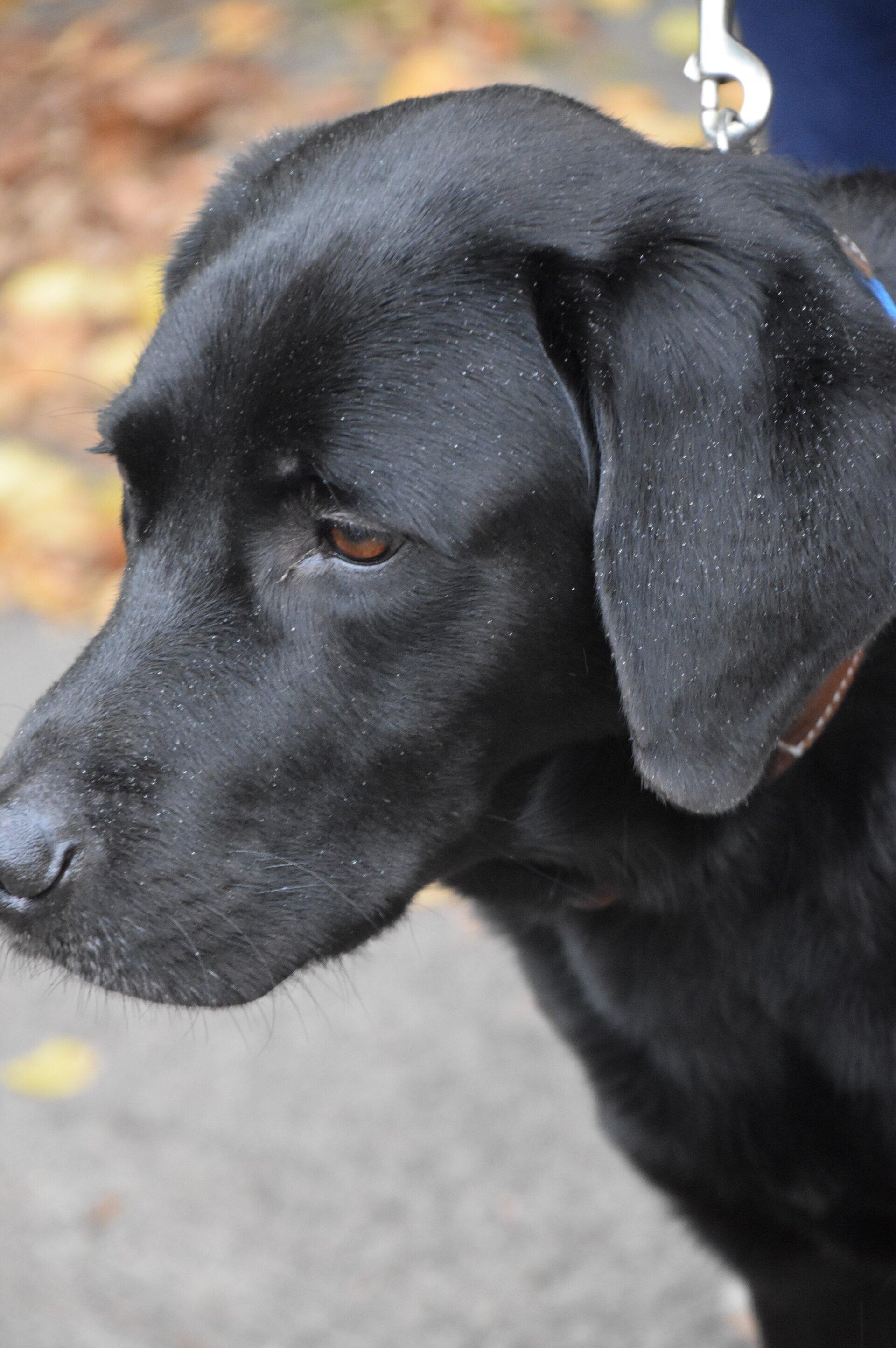 schwarzer Labrador Nicco