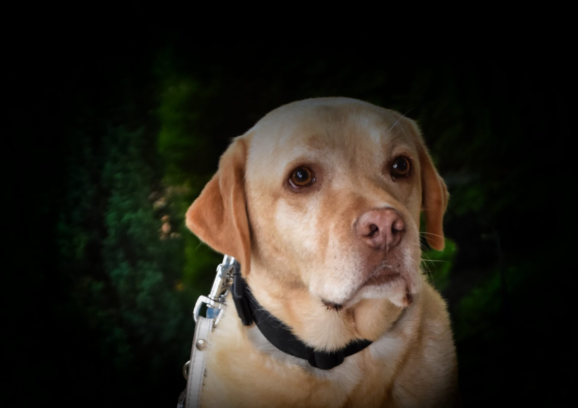 Heller Labrador Nepumik