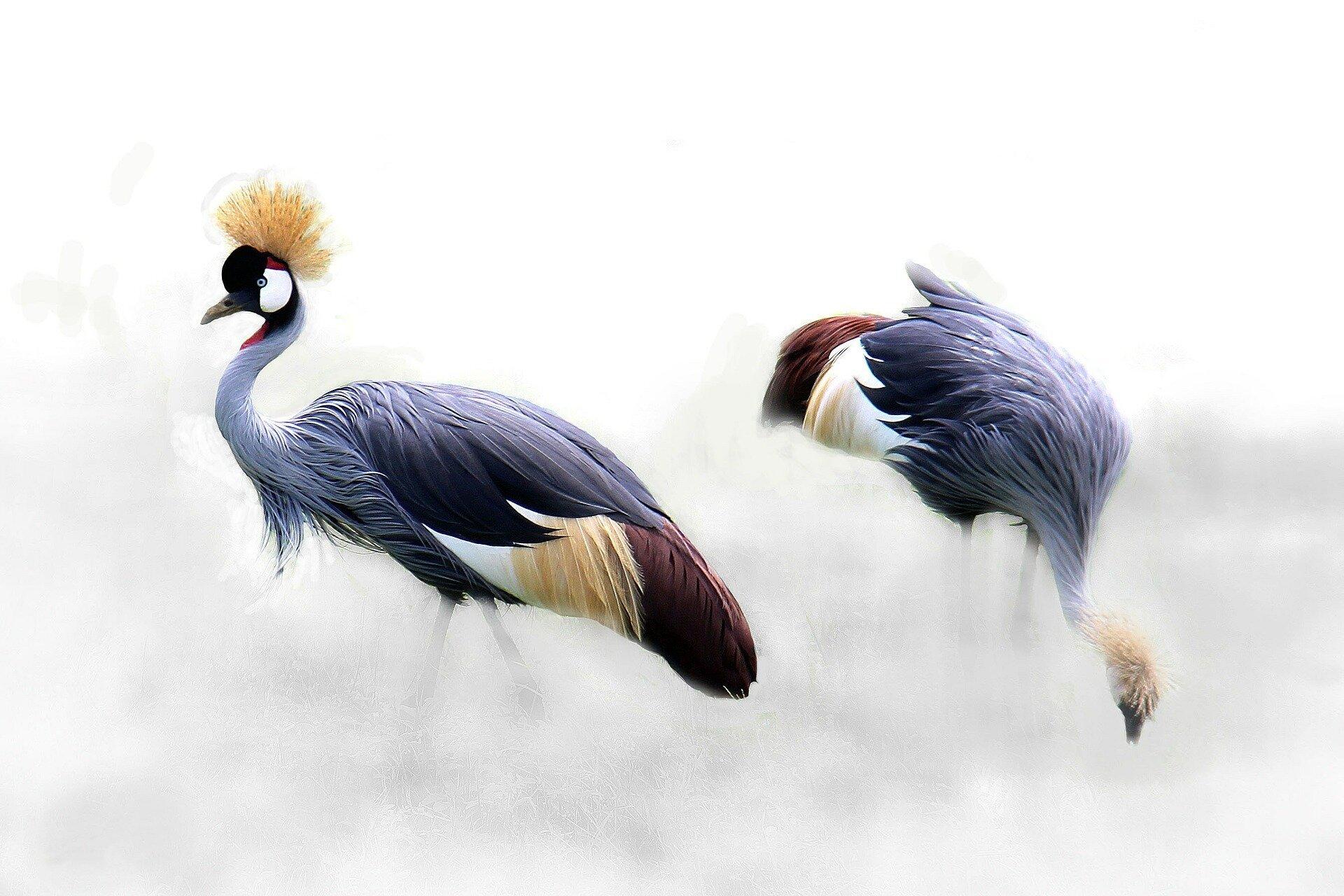 grey-crowned-crane-610463_1920