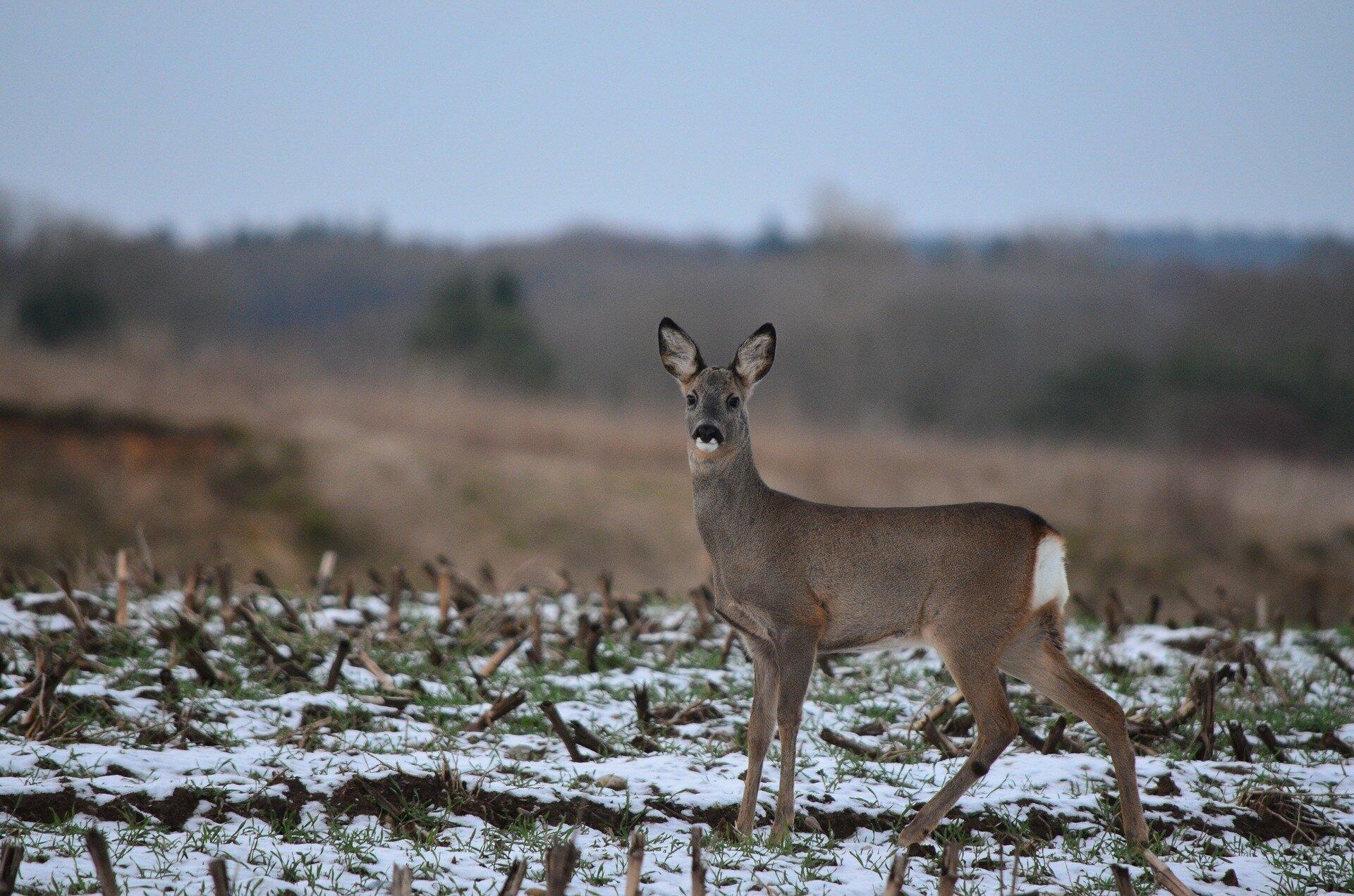 roe-deer-623675_1920