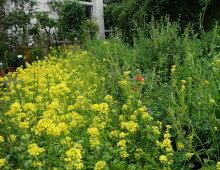 Blühfläche mit Ackersenf (Sinapis arvensis) und Luzerne (Medicago sativa)