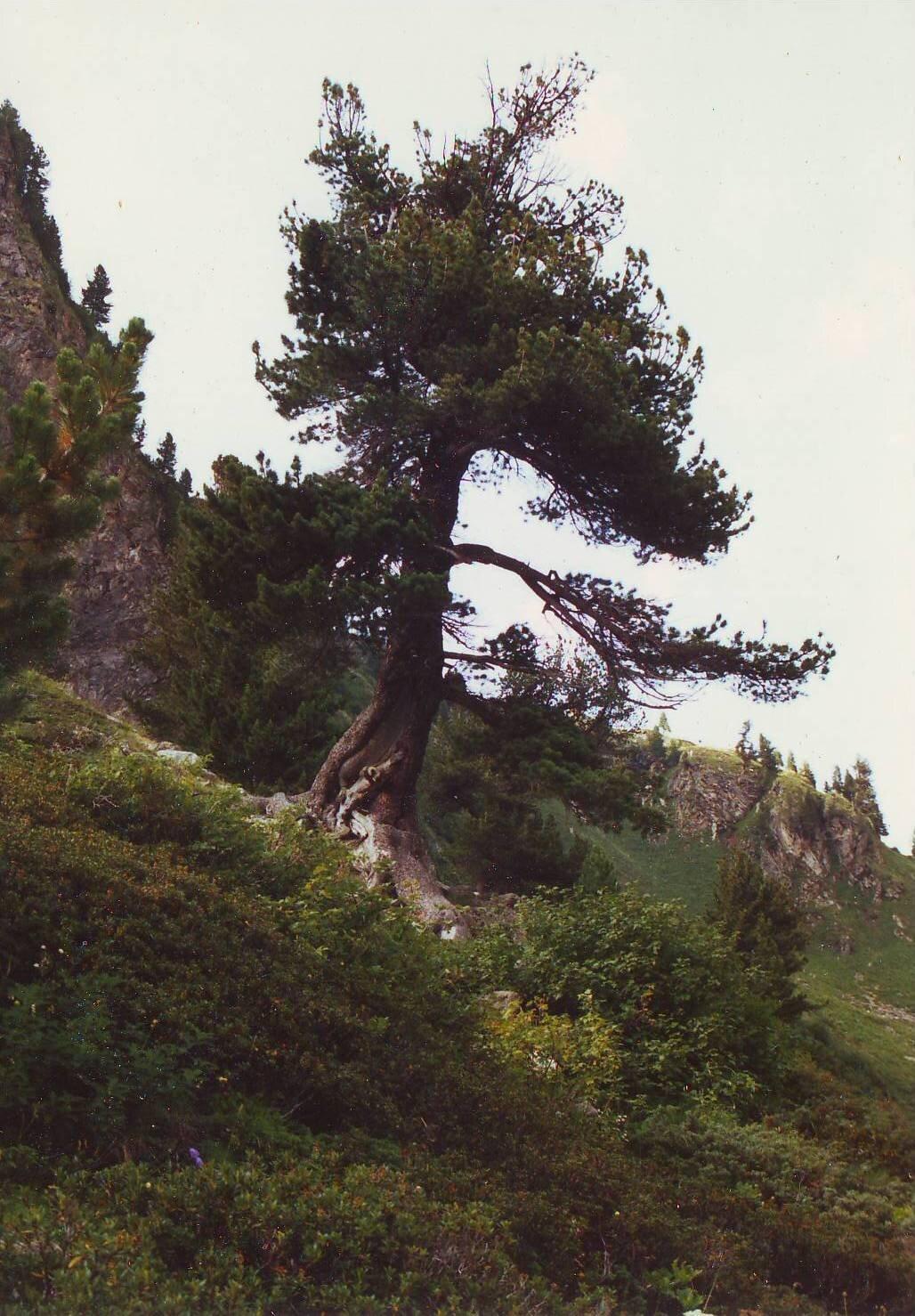 Eine stolze Arve an den steilen Berghängen der Schweiz.