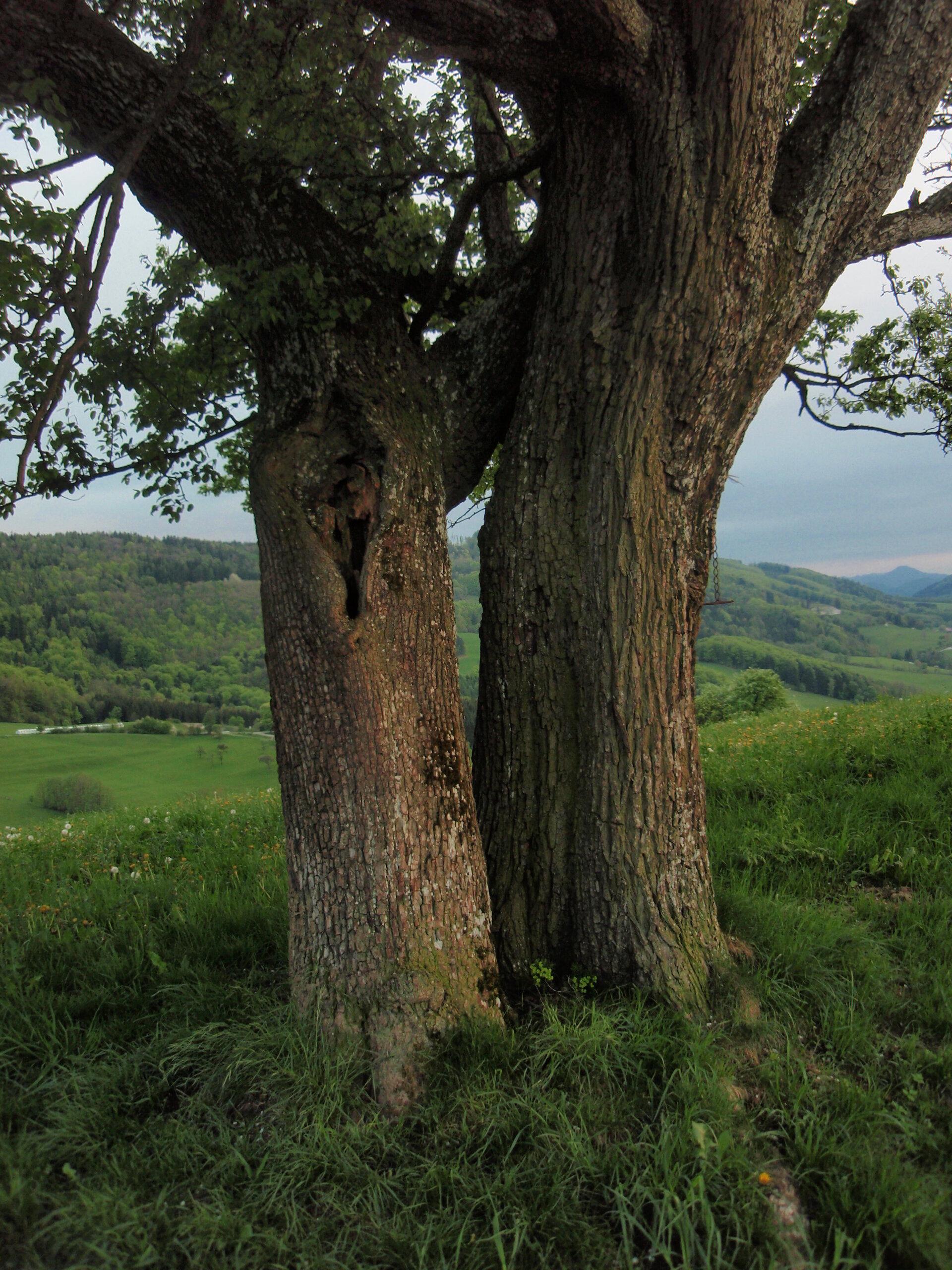 Zwei Birnbäume