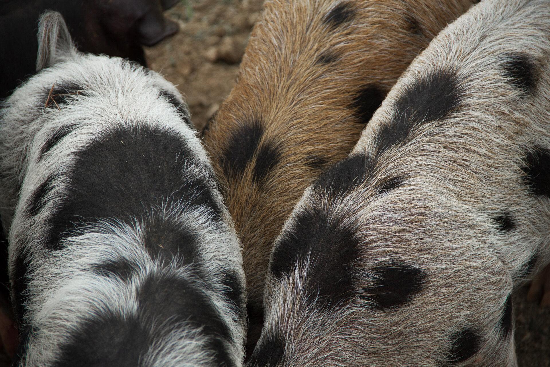 Schweinerücken mit getupfter Färbung der Borsten
