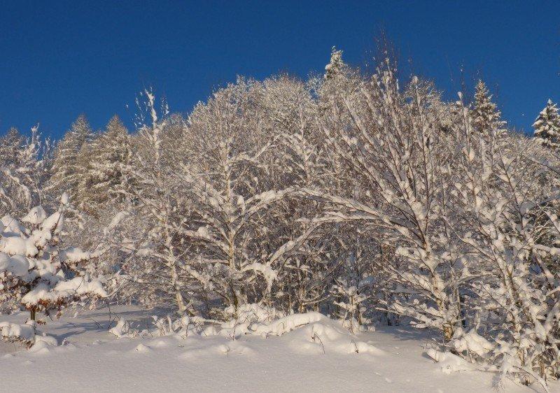 frischer_Schnee_im_Wald