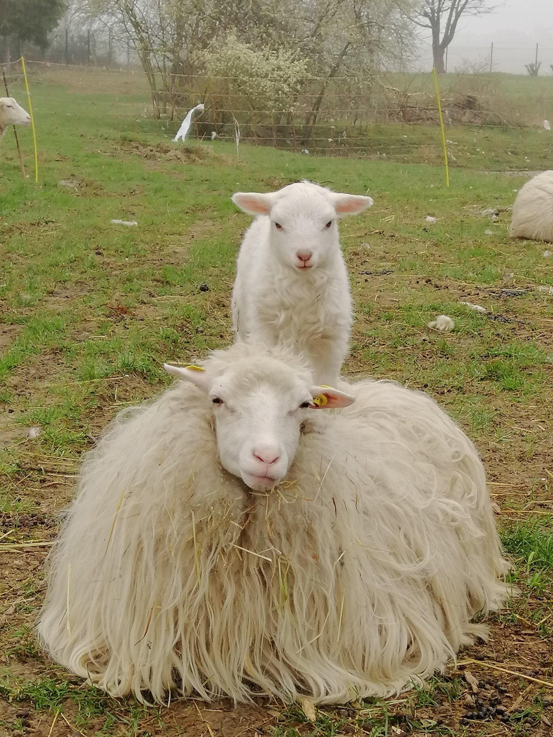 Moorschnucke mit Lamm (©J. Kroll)