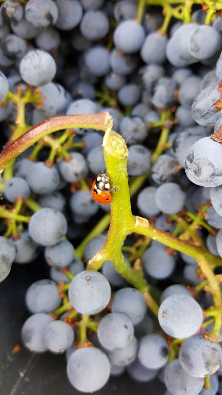 Weintraube mit Marienkäfer