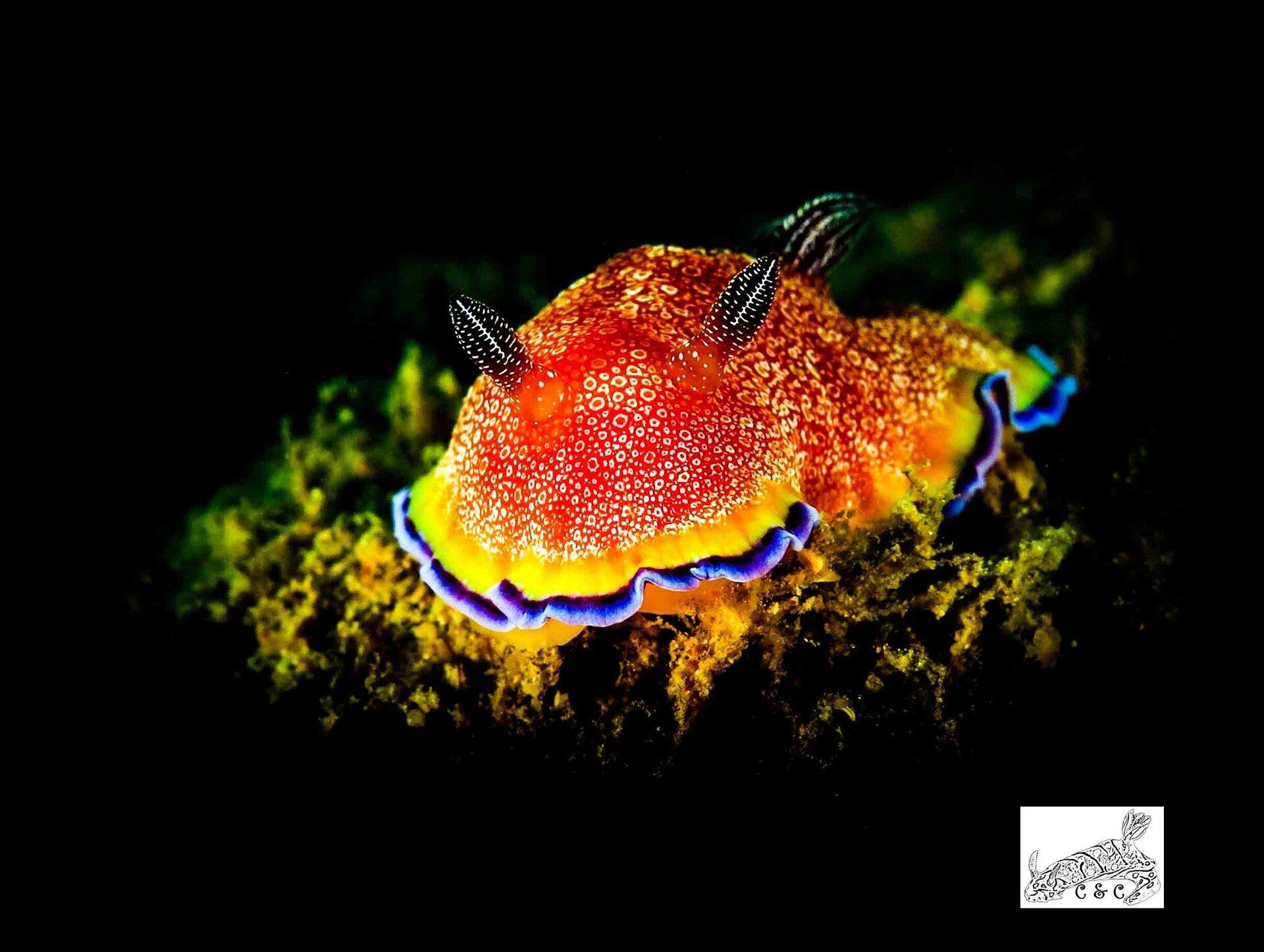 Goniobranchus albopunctatus