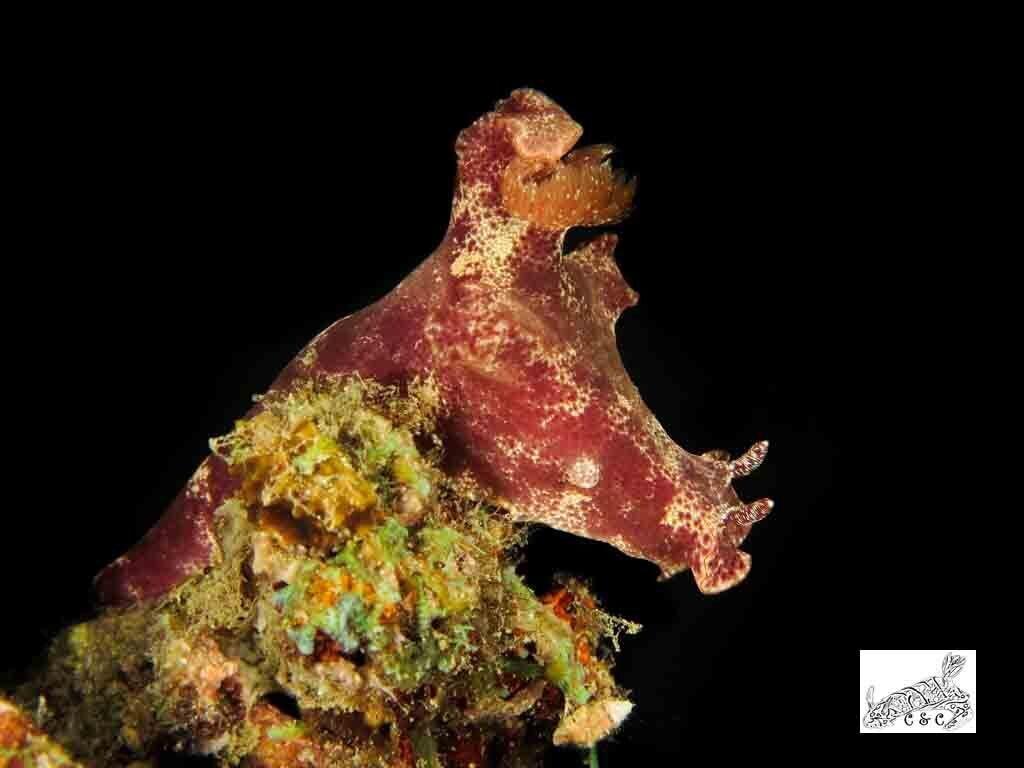 Ceratosoma gracillimum