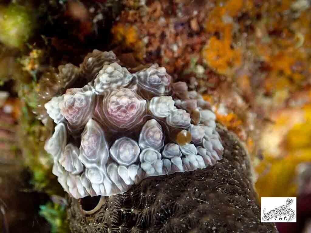 Asteronotus cespitosus