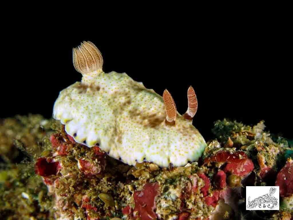 Goniobranchus rufomaculatus