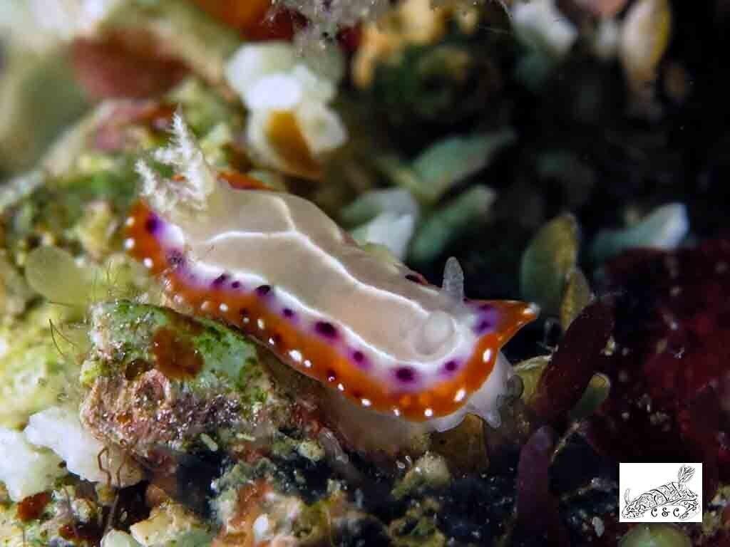 Goniobranchus setoensis