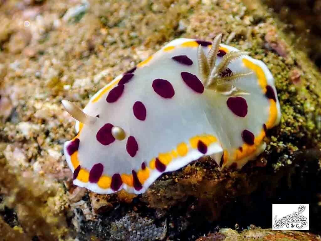 Goniobranchus kitae