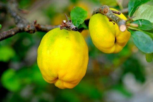 ornamental-quince-2684072_340
