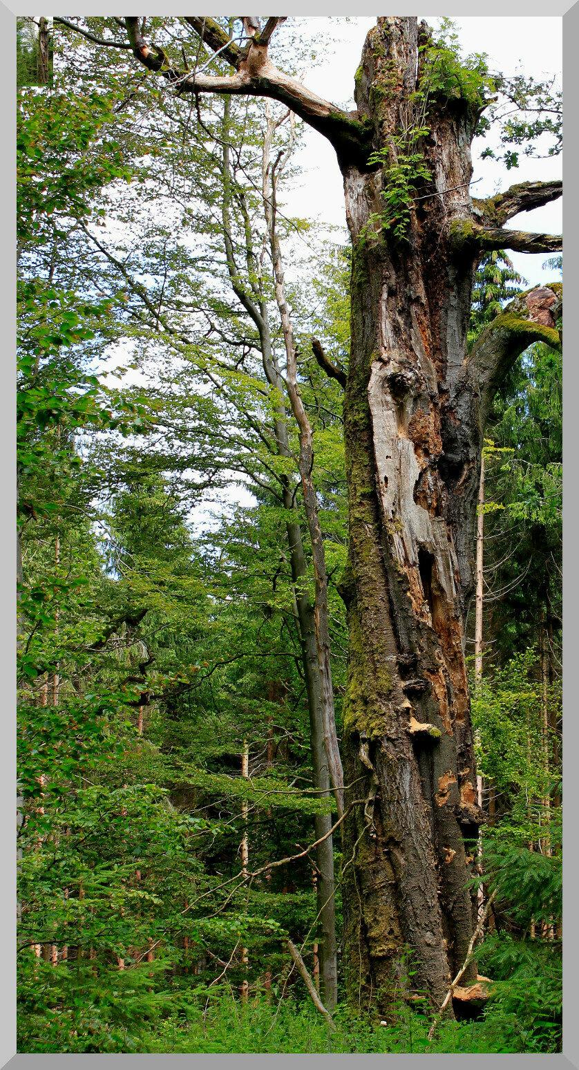Naturwald Totenberg