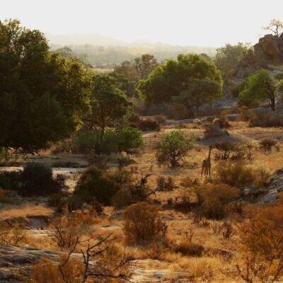 savanne-zwischen-wueste-und-wald-giraffe-blog-natucate