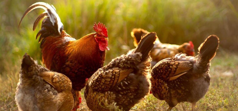 Hahn mit Hennen2