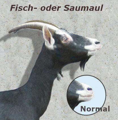 Fisch-oder-Saumaul_Ziegen