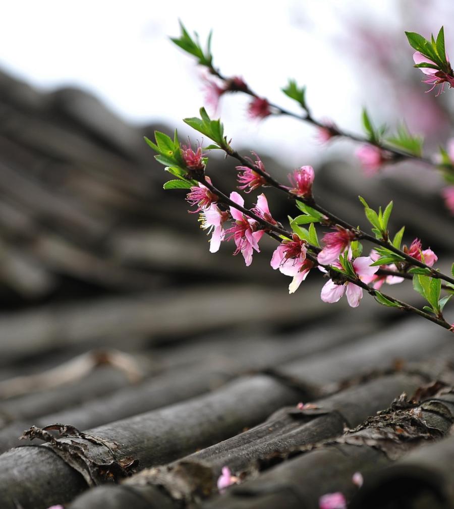 peach-blossom-1557702_1920