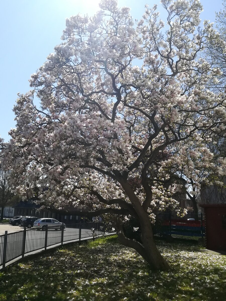 Magnolie in voller Blüte (04/2019)