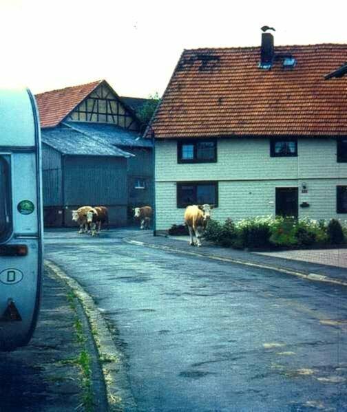 Kühe in Allmenrod