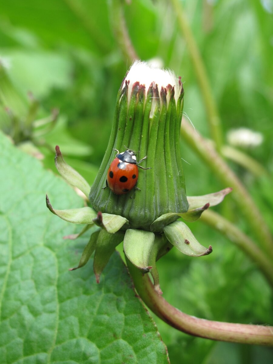 Marienkäfer erklimmt Pusteblume