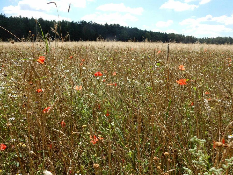 Weizenfeld bei Prenden
