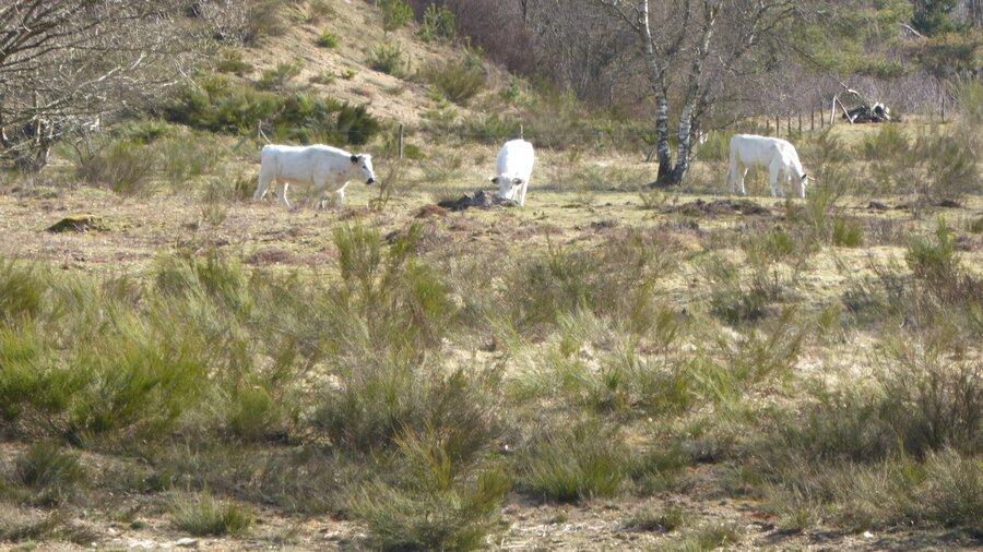 Whitepark Rinder im Tanklager