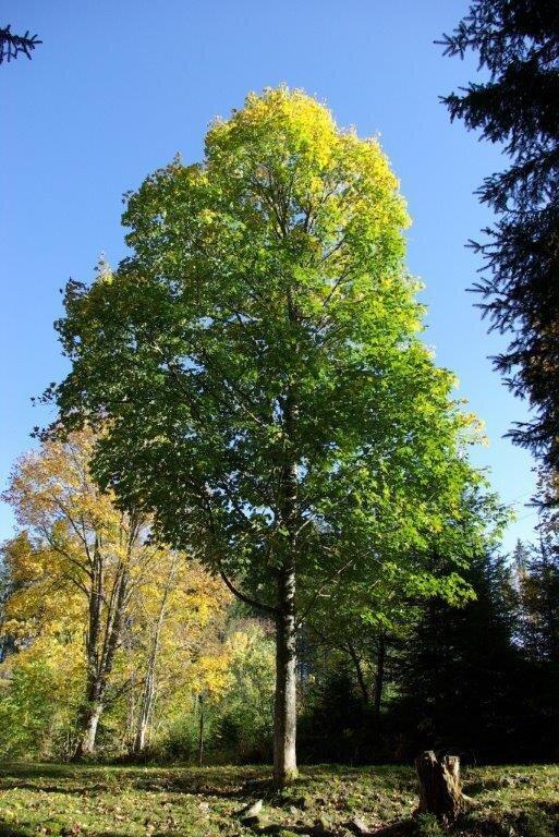 Baum zum fällen bereit