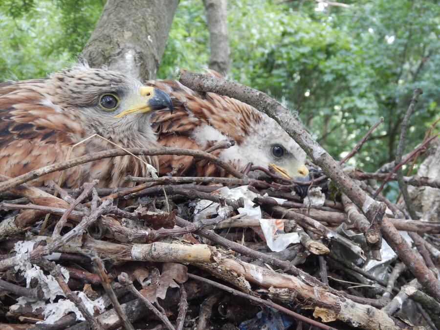 Jungvögel im Nest (Foto: P. Sollutnsch)