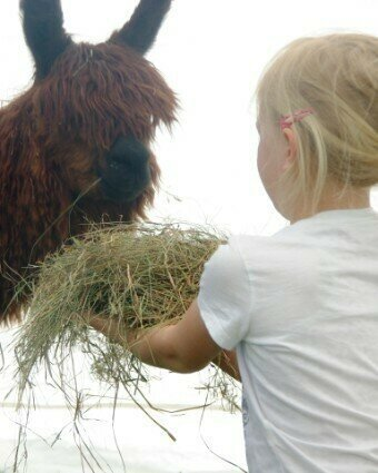 Kind füttert Alpaka