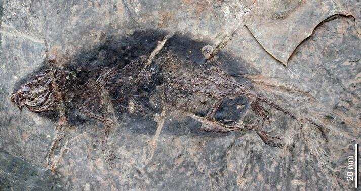 Stöffelmaus Fossil