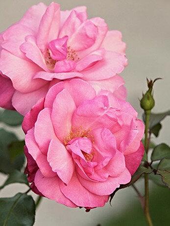 pixabay_heck-roses-2694203_640
