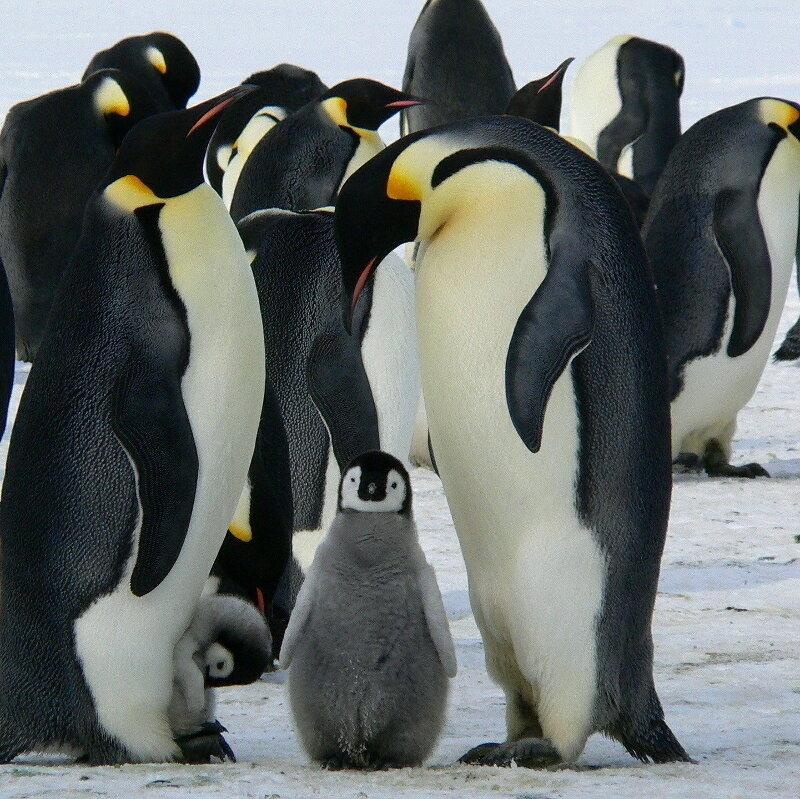 Pinguine_q