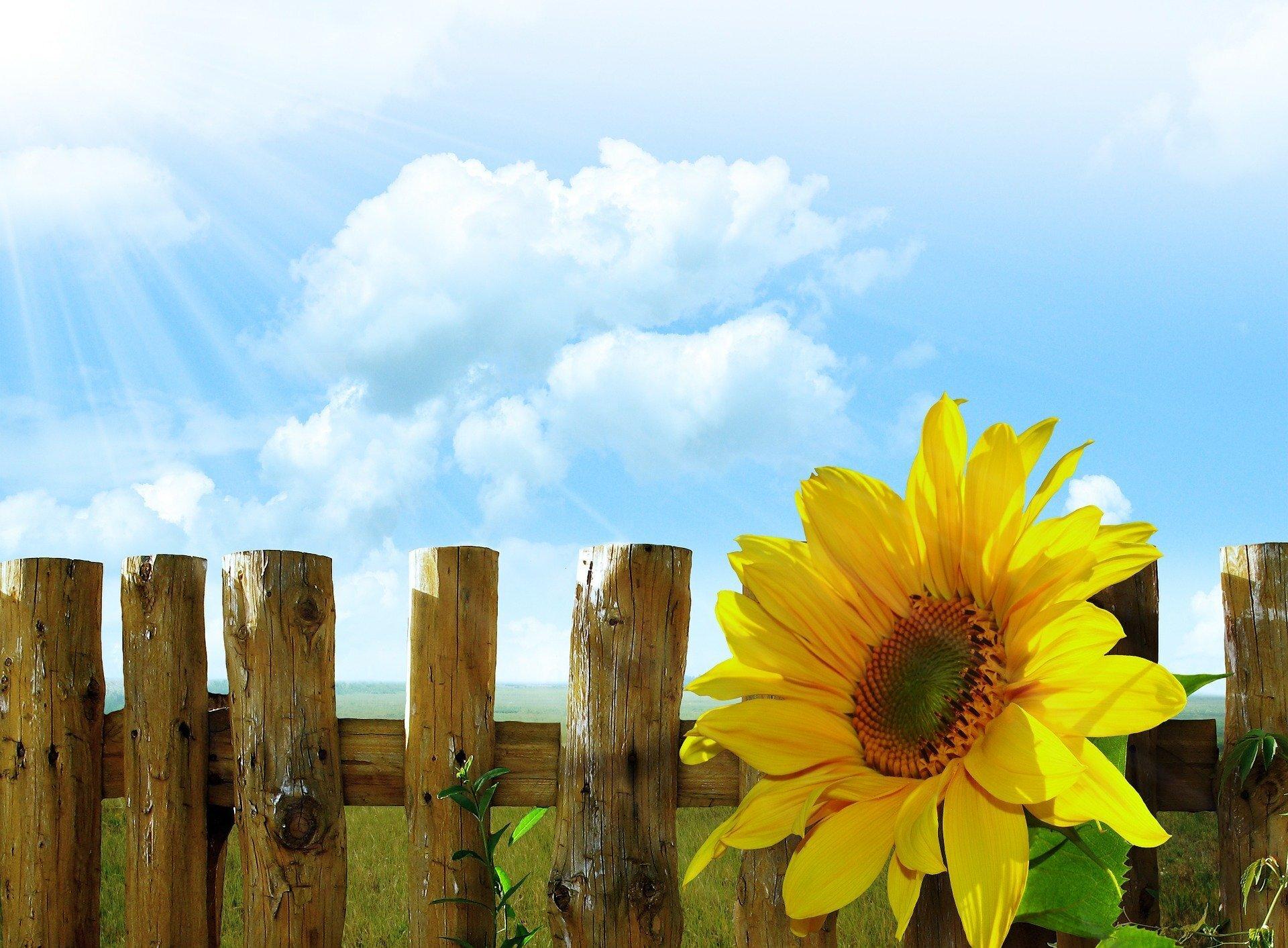 sunflowers-19647_1920