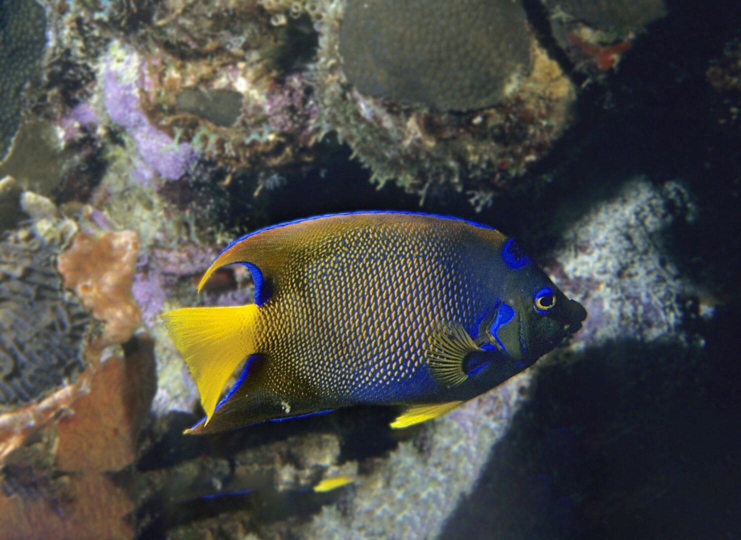 Königin-Engelfisch