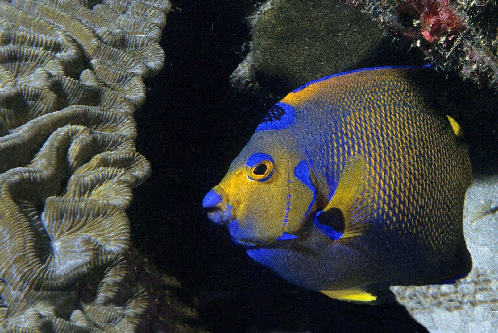 Köinigin-Engelfisch