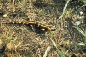 wsb_157x125_thumb-Neu_Foto_Salamander_28UBS_29_bearbeitet
