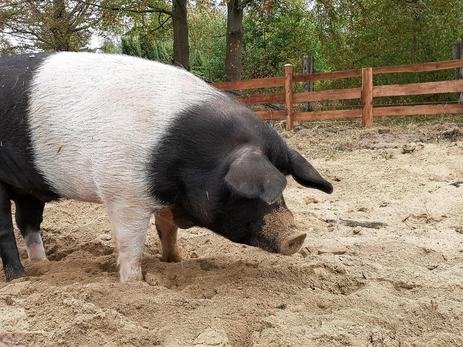 Sattelschwein