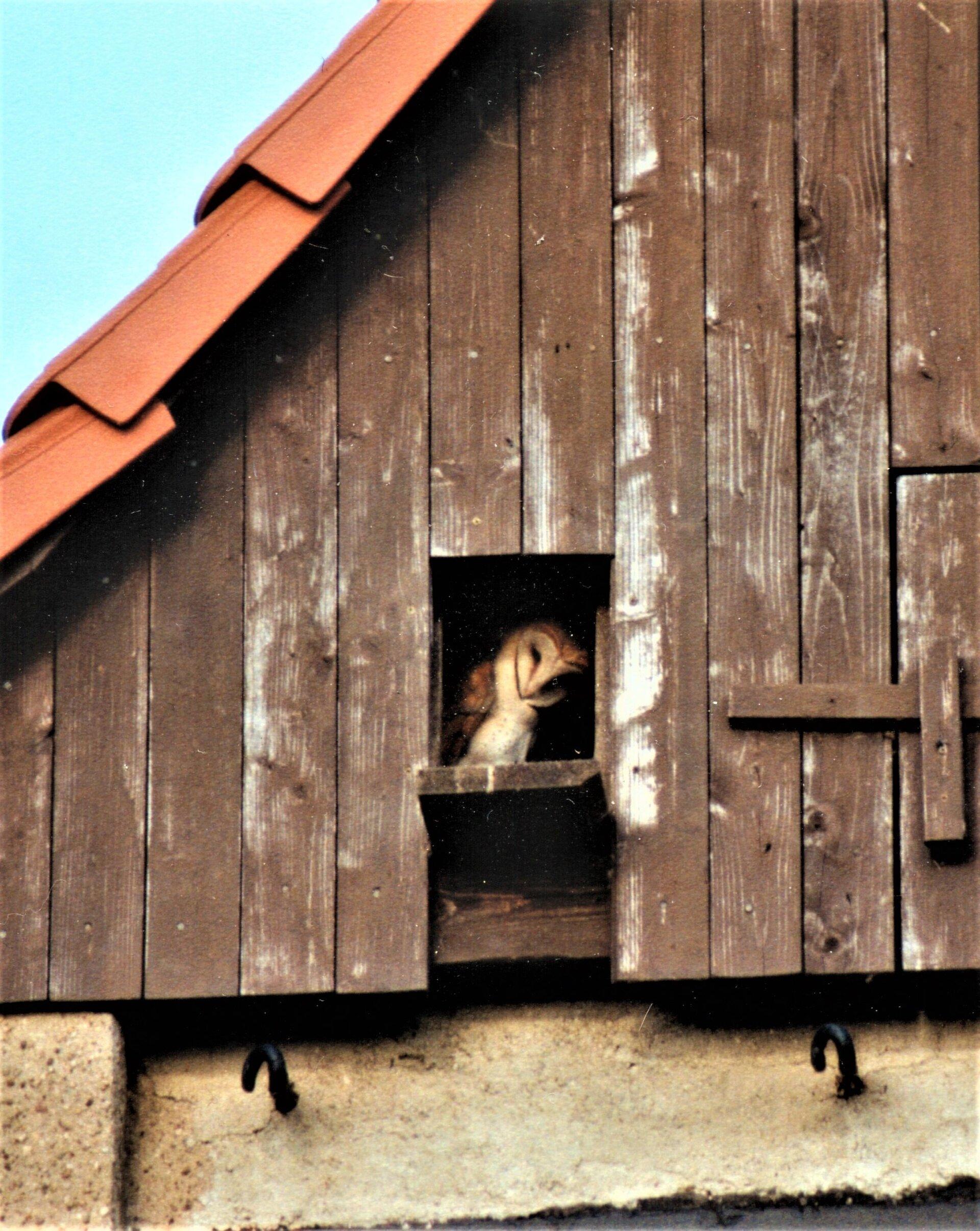 Schleiereule im Gibel des Trafos in Groitzsch