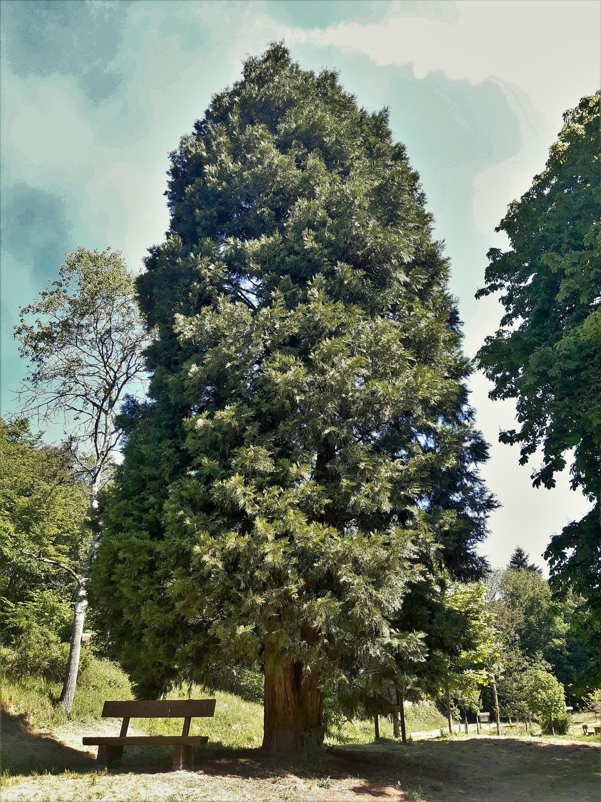 Waldforum - Mamutbaum