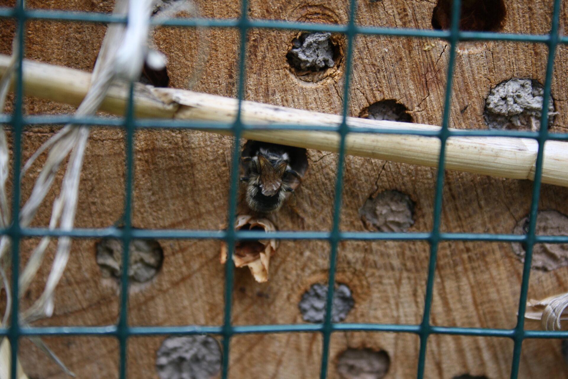 Biene beim Inspizieren der Brutröhre.