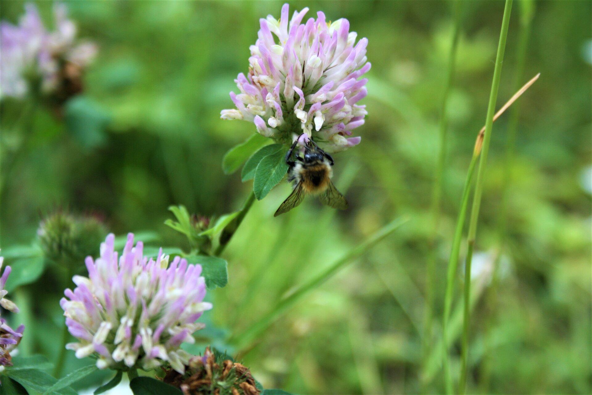 Biene am Rotklee